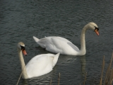 Two swans near to King's Lock.