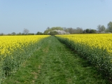 A gap is cleared through the rapeseed plants.